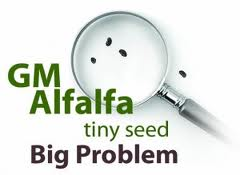 http://laudyms.files.wordpress.com/2011/01/gmo-alfalfa.jpg